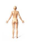 Female Standing  with Skeletal Bones Superimposed  Rear View