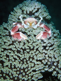 Spotted Porcelain Crab in Anemone  Gorontalo  Sulawesi Indonesia