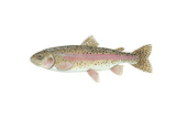 Illustration of a Rainbow Trout (Oncorhynchus Mykiss)