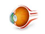 Anatomy of Human Eye  Perspective