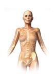 Anatomy of Female Body with Bone Skeleton Superimposed
