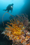 A Diver Looks on at a Group of Crinoids  Raja Ampat  Indonesia