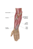 Anatomy of Human Forearm Muscles  Deep Anterior View