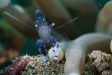 Sarasvati Anemone Shrimp  Sulawesi  Indonesia