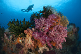 A Diver Approaches Colorful Soft Corals and Crinoids on the Reefs of Raja Ampat