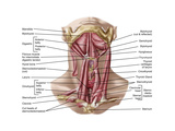 Anatomy of Human Hyoid Bone and Muscles  Anterior View