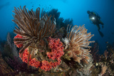 Diver Looks on at a Raja Ampat Reefscape Covered in Crinoids  Indonesia