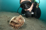 A Diver Looks at a Coconut Octopus  Lembeh Strait  Sulawesi  Indonesia