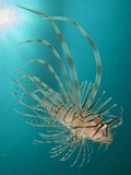 Close-Up View of a Lionfish  Gorontalo  Indonesia