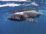 Whale Shark Feeding Off Coast of Isla Mujeres  Mexico