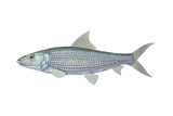 Illustration of a Bonefish (Albula Vulpes)