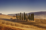 Small Isle of Cypress Trees in a Field in the Evening  Tuscany  Italy