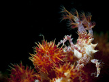 Candy Crab on Red Orange Soft Coral  Sulawesi  Indonesia