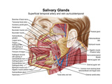 Anatomy of Human Salivary Glands