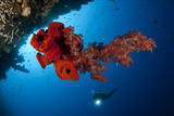 Diver Looks on at a Bright Red Soft Coral and Sponge Hanging from a Cave