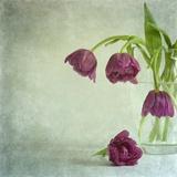 Tulips Caress