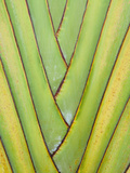 Fan Palm 3