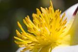White Begonia 1