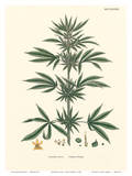 Cannabis Sativa - Common Hemp