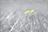 Yellow Buttercups Papier Photo par Adrian Campfield
