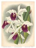 Laelia Orchid (Laelia Purpurata Lindi) - Book Plate 282 from Lindenia Iconographie des Orchidées