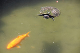 The Tortoise Which Pursues a Golden Carp in the Pond of the Temple in Kyoto