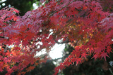 The Autumnal Leaves Which Shine Crimson