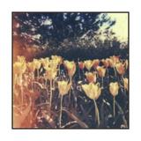 Tulipa Exposta III