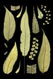 Ferns on Black III