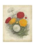 Ranunculus Florilegium I
