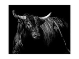 Brindle Rodeo Bull