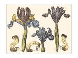 Custom Iris in Bloom II