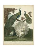 Peacock Gathering