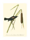 Audubon's Blackbird