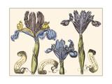 Small Iris in Bloom II