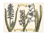 Custom Hyacinth in Bloom