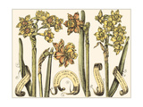 Custom Narcissus in Bloom II