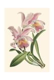 Mini Delicate Orchid III