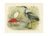 Heron and Ibis