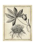 Passiflora II