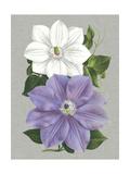 Clematis Blooms I