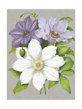 Clematis Blooms II