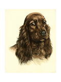 Danchin Red Cocker Spaniel