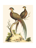 Small Regal Pheasants II