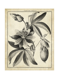 Passiflora III