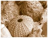 Oursins et anémones de mer Reproduction d'art
