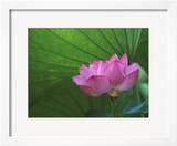 Ohga Lotus  Sankei-en Garden  Yokohama  Japan