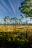 Longleaf Pine Flatwoods  Pinus Palustris  Palmetto Plants and Wire Grass