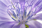 A Chicory Flower