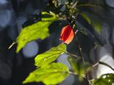 Sunlight on Malvaviscus Arboreus  a Hibiscus Plant